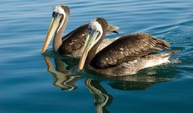 Pelikanen Paracas Royalty-vrije Stock Foto's
