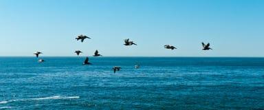 Pelikanen, Santa Cruz Stock Foto's