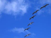 Pelikanen tijdens de vlucht stock foto's