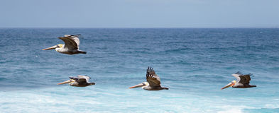 Pelikanen tijdens de vlucht Royalty-vrije Stock Afbeelding
