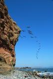 Pelikanen tijdens de vlucht Stock Afbeeldingen