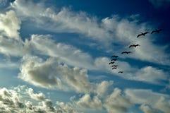 Pelikanenvorming Royalty-vrije Stock Fotografie