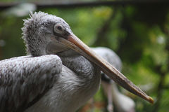 Pelikanfågel Royaltyfria Foton