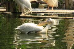 Pelikanfågel Arkivfoton