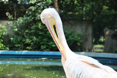 Pelikanfågel Arkivbilder