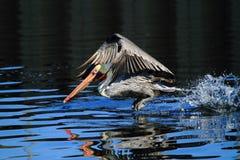 Pelikanfågel som tar av Arkivfoton
