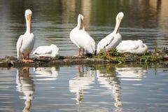 PelikanfågelAmimal djurliv flyger in i landning sjön Klamath Arkivfoto