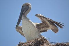 Pelikanfågelfaunor tropiska yucatan exotiska Mexico Arkivbild