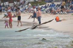 Pelikanfågelfaunor tropiska yucatan exotiska Mexico Royaltyfri Fotografi