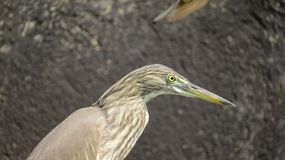 Pelikanfågelslut upp framsida royaltyfria foton