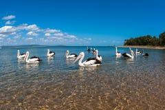 Pelikanfåglar stänger sig upp den blåa lagunen Arkivbild