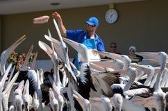 Pelikanfütterung - Gold Coast Queensland Australien Stockfotografie