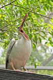 Pelikanfågel Royaltyfri Fotografi