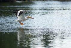 PelikanfågelAmimal djurliv flyger in i landning sjön Klamath Arkivbild