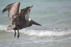 Pelikanfågelfaunor tropiska yucatan exotiska Mexico Arkivbilder