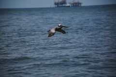 Pelikanfliegen hinter Ölplattform Stockfotografie