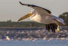 Pelikanflyg Fotografering för Bildbyråer