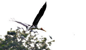 Pelikanflyg Arkivbild