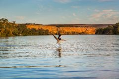 Pelikanflyg Royaltyfri Foto