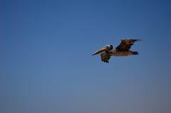 Pelikanflyg Arkivbilder