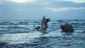 Pelikanflyg av soluppgång Mexico fotografering för bildbyråer