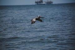Pelikanflyg förbi oljeplattform Arkivbild