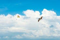 Pelikanflyg i himmel Arkivbild