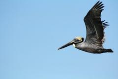 Pelikanflyg i St Petersburg, Florida Royaltyfri Foto