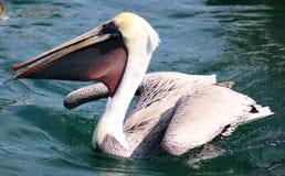 Pelikanflyg i tropiskt paradis i Los Cabos Mexico royaltyfri foto