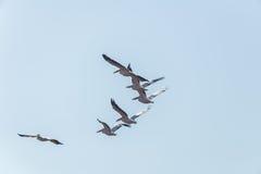 Pelikanflyttning på Viker utkik Arkivbilder