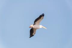 Pelikanflyttning på Viker utkik Arkivbild