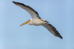 Pelikanflyttning på Viker utkik Fotografering för Bildbyråer