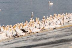 Pelikanflyttning på Viker utkik Royaltyfri Fotografi