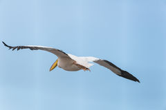 Pelikanflyttning på Viker utkik Royaltyfri Bild