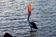 Pelikangäspning Royaltyfri Bild