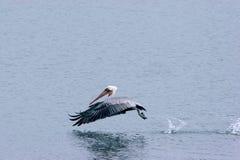 Pelikanhopfen auf dem Wasser Stockbilder