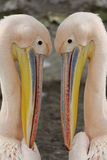 Pelikanhuvud royaltyfri foto