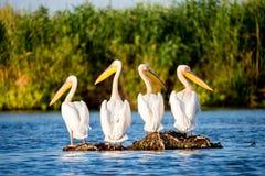 Pelikankoloni i Donaudeltan Rumänien royaltyfri fotografi