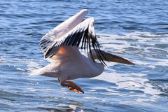 Pelikanlandung auf dem Atlantik Stockfotos