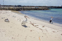 Pelikanlivsstil på den Rottnest ön Royaltyfri Foto