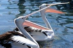 Pelikanmatning Royaltyfri Bild