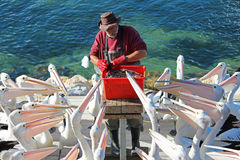 Pelikanmatning Royaltyfri Foto