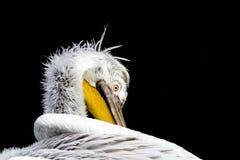 Pelikannärbild på huvudet royaltyfria bilder