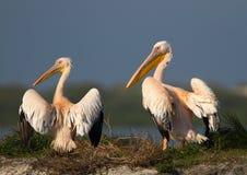 Pelikanpaare Lizenzfreie Stockfotografie