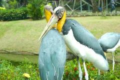 Pelikanpaare Indonesien TMII Stockbilder