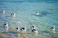 Pelikanpacke Arkivbilder
