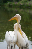Pelikanpar Royaltyfria Foton
