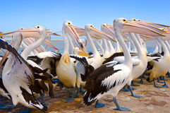 Pelikanparade Stockbilder