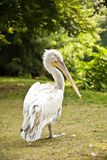 Pelikanpelecanuscrispus Fotografering för Bildbyråer