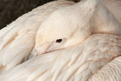 pelikanpink Fotografering för Bildbyråer